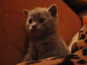 продам британских котят в полтаве