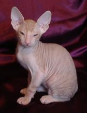 Прекрасные котята донского сфинкса редких окрасов