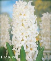 Продам цветы в вазонах к 14, 23 февраля и 8 марта 2012
