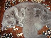 Котенок и кошечка породы британская голубая