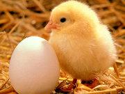 Куплю инкубационные куриные яйца.
