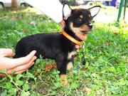 Очаровательная малышка чихуахуа