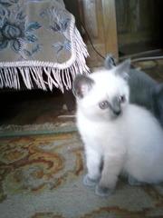 Шотланские вислоухие котята