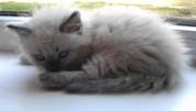Подам котят породы Невская маскарадная