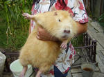 продам нутрии разные,  свинки от 300грн