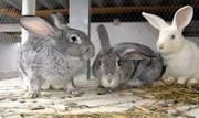 продам кроликов пород советская шиншилла, калифорниец, новозеландец , бел